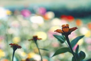 【高解像度】色とりどりの景色と百日草(ジニア)(3パターン)