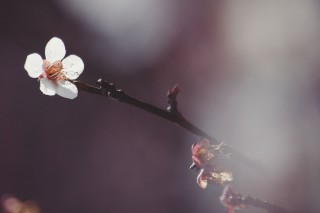 【高解像度】一枝の白梅(3パターン)
