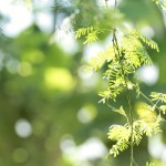 【高解像度】木漏れ日と緑の落羽松(ラクウショウ)(3パターン)