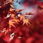 【高解像度】光に照らされる紅葉(3パターン)