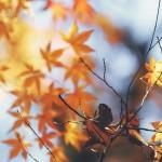 【高解像度】見上げる紅葉(3パターン)