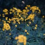 【高解像度】石蕗(ツワブキ)の花畑(3パターン)