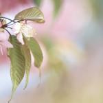 【高解像度】あたたかい雰囲気のヒマラヤザクラ(3パターン)