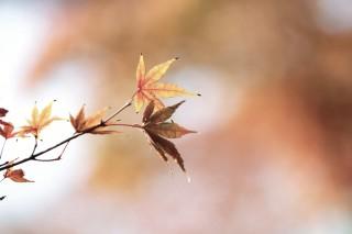 【高解像度】手を伸ばすような紅葉(3パターン)