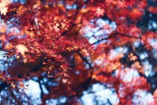【高解像度】空を覆う紅葉(3パターン)