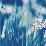 【高解像度】咲き初めの日本水仙(ニホンズイセン)(3パターン)