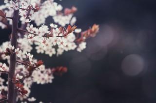 【高解像度】しとやかに咲くプラムの花(3パターン)