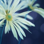【高解像度】花開く肥後菊(ヒゴギク)(3パターン)