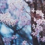 【高解像度】静かな桜(3パターン)