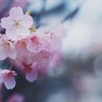 【高解像度】寒空と桜(3パターン)