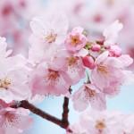 【高解像度】薄紅色の桜(3パターン)