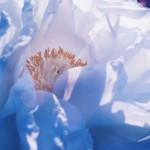 【高解像度】白い大輪の牡丹(ボタン)(3パターン)