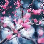 【高解像度】満開の紅梅(3パターン)