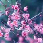 【高解像度】深い緑と紅梅(3パターン)