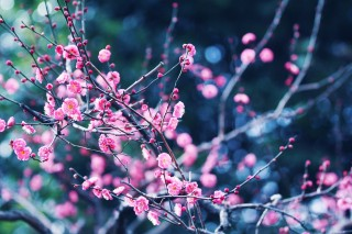 【高解像度】森の中の紅梅(3パターン)