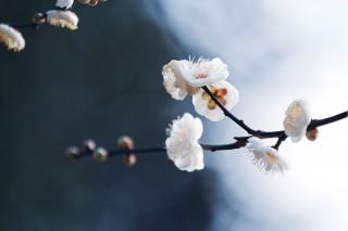 【高解像度】白梅の明暗(3パターン)