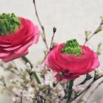 【高解像度】ラナンキュラスと桜(2パターン)