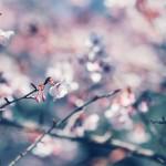 【高解像度】色が滲む桜(3パターン)