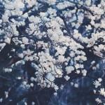 【高解像度】花盛りの白木蓮(ハクモクレン)(3パターン)