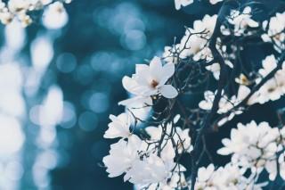 【高解像度】降る光と白木蓮(ハクモクレン)(3パターン)