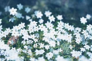 【高解像度】白いハナニラの花畑(3パターン)