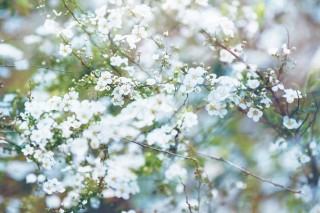 【高解像度】霞がかる雪柳(ユキヤナギ)(3パターン)