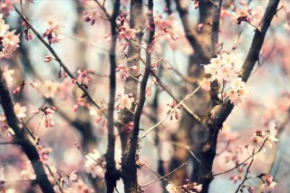 【高解像度】暖かい雰囲気の桜(3パターン)