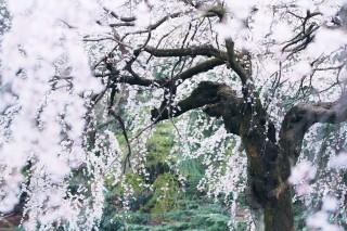 【高解像度】幽玄な枝垂れ桜(シダレザクラ)(3パターン)