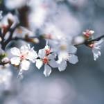 【高解像度】白い山桜桃梅(ユスラウメ)の花(3パターン)