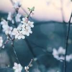 【高解像度】境界線と山桜桃梅(ユスラウメ)(3パターン)