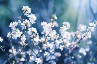 【高解像度】満開の山桜桃梅(ユスラウメ)(3パターン)