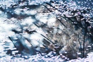 【高解像度】水の中に咲く桜(3パターン)