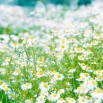 【高解像度】涼しげなカモミールの花畑(3パターン)