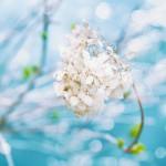 【高解像度】キラキラした枯れ紫陽花(アジサイ)(3パターン)