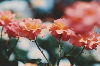 【高解像度】揺れる薔薇(バラ)(3パターン)