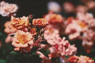 【高解像度】クラシカルな薔薇園(3パターン)