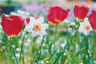 【高解像度】チューリップ畑に咲く水仙(スイセン)(3パターン)