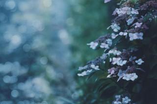【高解像度】暗がりに咲く紫陽花(アジサイ)(3パターン)