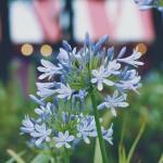 【高解像度】祭りの夜の紫君子蘭(ムラサキクンシラン)(2パターン)