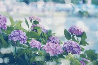 【高解像度】紫陽花(アジサイ)が咲く風景(2パターン)