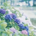 【高解像度】紫陽花が咲く風景(アジサイ)(3パターン)