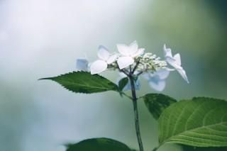【高解像度】凛とした雰囲気の紫陽花(アジサイ)(3パターン)
