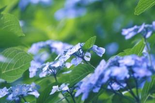 【高解像度】涼しげな紫陽花(アジサイ)(3パターン)