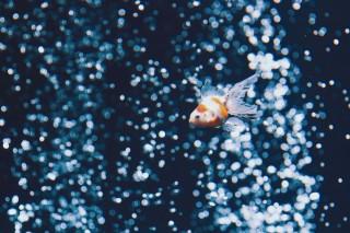 【高解像度】孤独な金魚(3パターン)