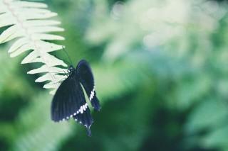 【高解像度】緑の中の黒アゲハ蝶(3パターン)