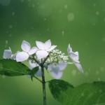 【高解像度】六月の雨と紫陽花(アジサイ)(3パターン)