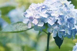 【高解像度】薄花色の紫陽花(アジサイ)(3パターン)
