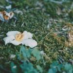 【高解像度】落ちる夏椿(ナツツバキ)(3パターン)