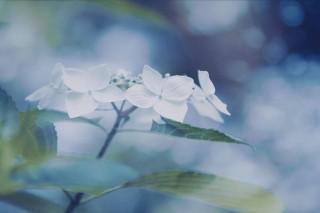 【高解像度】霞がかる紫陽花(アジサイ)(3パターン)