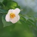 【高解像度】慎ましく咲く夏椿(ナツツバキ)(3パターン)